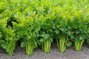 Did you know this.......about celery?
